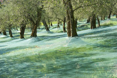 Raccolta verde oliva Fotografia Stock