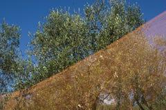 Raccolta verde oliva Immagini Stock