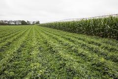 Raccolti irrigati di legumi e del mais Fotografie Stock