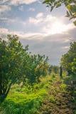Raccolto arancio in Sicilia Fotografia Stock Libera da Diritti