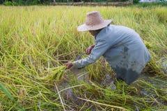 Raccolto asiatico dell'agricoltore della gente del giacimento del riso nella stagione del raccolto Fotografie Stock