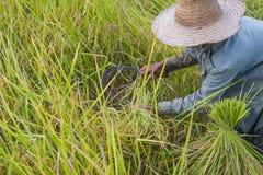 Raccolto asiatico dell'agricoltore della gente del giacimento del riso nella stagione del raccolto Immagini Stock
