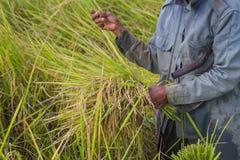Raccolto asiatico dell'agricoltore della gente del giacimento del riso nella stagione del raccolto Fotografia Stock