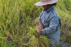Raccolto asiatico dell'agricoltore della gente del giacimento del riso nella stagione del raccolto Immagini Stock Libere da Diritti