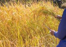 Raccolto degli agricoltori in Tailandia Immagini Stock