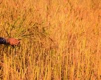 Raccolto degli agricoltori in Tailandia Immagine Stock