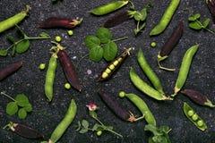 Raccolto dei baccelli di pisello verde e porpora organici fotografie stock