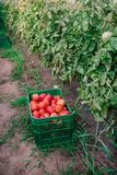 Raccolto dei pomodori freschi dall'allevamento ecologico e domestico Fotografia Stock Libera da Diritti
