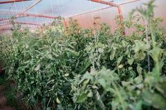 Raccolto dei pomodori freschi dall'allevamento ecologico e domestico Fotografia Stock