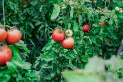 Raccolto dei pomodori freschi dall'allevamento ecologico e domestico Fotografie Stock
