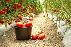 Raccolto dei pomodori maturi in una serra Immagini Stock Libere da Diritti