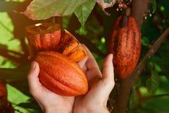 Raccolto del cacao in mani dell'agricoltore immagine stock libera da diritti