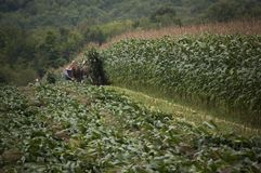 Raccolto del raccolto del cereale di taglio dell'agricoltore di Amish Fotografie Stock