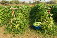 Raccolto del cetriolo Fotografie Stock