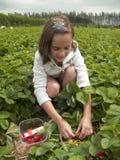 raccolto del friut Fotografia Stock