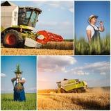 Raccolto del frumento - collage Fotografia Stock