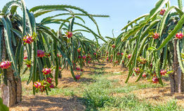 Raccolto del giardino della frutta del drago Immagine Stock Libera da Diritti