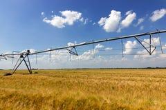 Raccolto del grano, giacimento di grano Immagine Stock