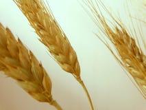 Raccolto del grano sul campo Fotografia Stock
