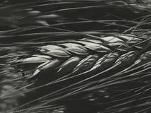 Raccolto del grano sul campo Immagini Stock