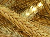 Raccolto del grano sul campo Immagine Stock Libera da Diritti