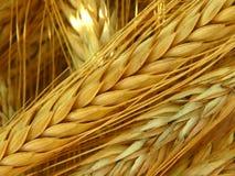 Raccolto del grano sul campo Fotografie Stock Libere da Diritti
