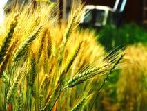 Raccolto del grano sul campo Fotografie Stock