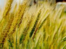 Raccolto del grano sul campo Immagine Stock