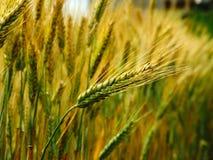 Raccolto del grano sul campo Immagini Stock Libere da Diritti