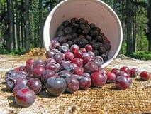 Raccolto del Huckleberry Fotografie Stock