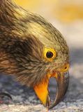 Raccolto del pappagallo con il becco Immagine Stock Libera da Diritti