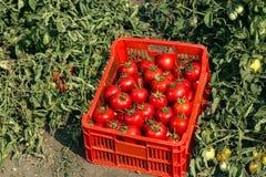 Raccolto raccolto del pomodoro immagini stock libere da diritti
