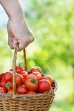 Raccolto del pomodoro Immagini Stock Libere da Diritti
