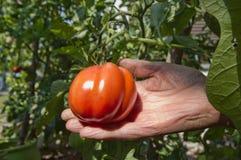 Raccolto del pomodoro Immagine Stock Libera da Diritti