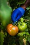 Raccolto del pomodoro fotografia stock