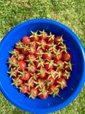 Raccolto del pomodoro ciliegia Fotografia Stock