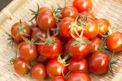 Raccolto del pomodoro ciliegia all'orto fotografie stock libere da diritti