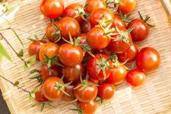 Raccolto del pomodoro ciliegia all'orto immagini stock