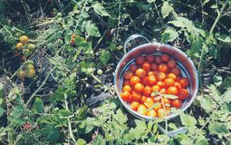 Raccolto del pomodoro del giardino Fotografia Stock