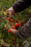 Raccolto del pomodoro di agricoltura Fotografie Stock Libere da Diritti