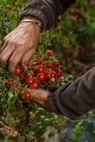 Raccolto del pomodoro di agricoltura Fotografie Stock