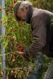 Raccolto del pomodoro di agricoltura Immagini Stock Libere da Diritti