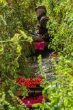 Raccolto del pomodoro di agricoltura Immagini Stock