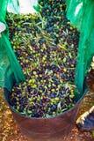 Raccolto del raccolto delle olive nel canestro dell'agricoltore Fotografia Stock Libera da Diritti