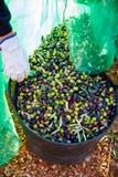 Raccolto del raccolto delle olive nel canestro dell'agricoltore Fotografia Stock
