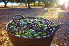 Raccolto del raccolto delle olive nel canestro dell'agricoltore Fotografie Stock