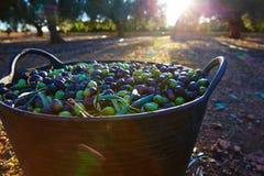 Raccolto del raccolto delle olive nel canestro dell'agricoltore Immagini Stock