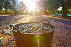 Raccolto del raccolto delle olive nel canestro dell'agricoltore Fotografie Stock Libere da Diritti