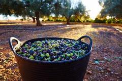 Raccolto del raccolto delle olive nel canestro dell'agricoltore Immagine Stock