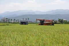 Raccolto del riso fotografia stock libera da diritti